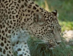 1280px-persischer_leopard2cele4