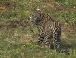 леопард Волна