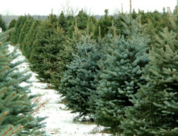 The weekend after Thanksgiving is the prime time to shop for a Christmas tree. (Thinkstock)