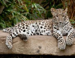 modul-naya-kartina-leopard-na-kamne-1024x683